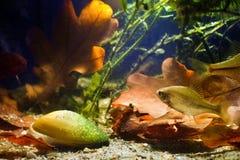 Rhodeus amarus, Europejski bitterling, rozprzestrzeniająca dzika ryba pływa blisko Unio pictorum, malarza mussel, nadwodny bivalv fotografia royalty free