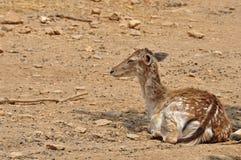 Rhodian fallow deer Royalty Free Stock Photos