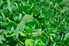 Rhodiola leaves Stock Images