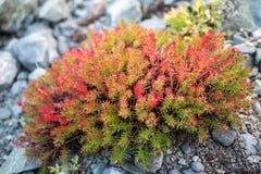 Rhodiola nelle montagne di Altai Fotografia Stock
