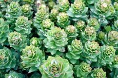 Rhodiola rosea纹理 免版税图库摄影