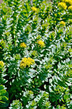 Rhodiola rosea is blooming stock photography