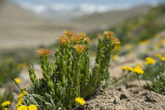 Rhodiola rosea blossom Stock Images