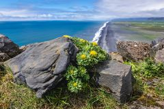 Cape Dyrholaey in Iceland. Rhodiola rosea - commonly knows as Golden root or Artic root on Dyrholaey foreland in Iceland stock image