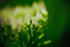 Rhodiola rosea flowering, medicinal plant closeup macro shot.  Stock Image