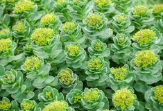Rhodiola rosea, grows in the garden Royalty Free Stock Image