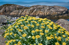 Rhodiola rosea, norwegian golden root. Coastal  vegetation in central Norway, spring plants view. Norwegian North sea. Hitra island Royalty Free Stock Images