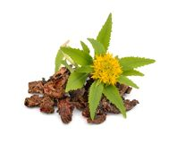 Free Rhodiola Rosea, Roots With Flowers. Royalty Free Stock Images - 104826689
