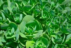 Rhodiolabladeren Stock Afbeeldingen