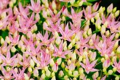 Rhodiolarosea die, het macroschot van de geneeskrachtige installatieclose-up bloeien stock foto's