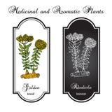 Rhodiolarosea, of Gouden wortel Royalty-vrije Stock Afbeeldingen