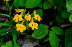 Rhodocheila de Habenaria photos libres de droits