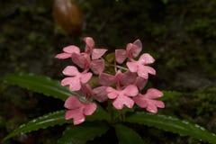 Rhodocheila Hance de Habenaria de forêt tropicale photo stock