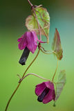 Rhodochiton Purple Rain close up Stock Images