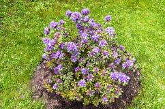 Rhododedron i trädgården Royaltyfri Fotografi