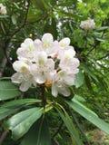 rhododendren Stockfotografie