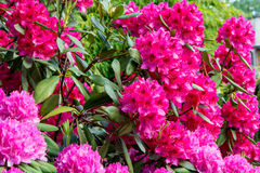 rhododendren Stockbild