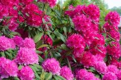 rhododendren Lizenzfreie Stockfotos