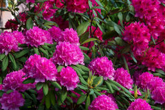 rhododendren Stockfoto