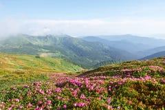 Rhododendren blühen in einem schönen Standort in den Bergen Blumen in den Bergen Blühende Rhododendren in Stockfoto