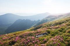 Rhododendren blühen in einem schönen Standort in den Bergen Blumen in den Bergen Blühende Rhododendren in Stockfotografie