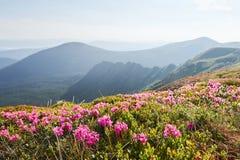 Rhododendren blühen in einem schönen Standort in den Bergen Blumen in den Bergen Blühende Rhododendren in Stockfotos