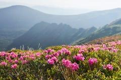 Rhododendren blühen in einem schönen Standort in den Bergen Blumen in den Bergen Blühende Rhododendren in Lizenzfreie Stockfotografie