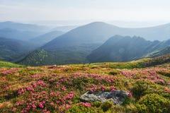 Rhododendren blühen in einem schönen Standort in den Bergen Blumen in den Bergen Blühende Rhododendren in Lizenzfreie Stockfotos