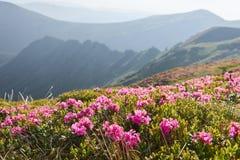 Rhododendren blühen in einem schönen Standort in den Bergen Blumen in den Bergen Blühende Rhododendren in Lizenzfreie Stockbilder