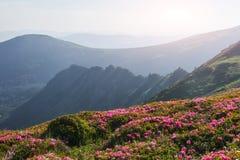 Rhododendren blühen in einem schönen Standort in den Bergen Blumen in den Bergen Blühende Rhododendren in Stockbilder