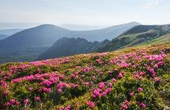 Rhododendren blühen in einem schönen Standort in den Bergen Blumen in den Bergen Blühende Rhododendren in Lizenzfreies Stockbild
