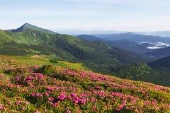 Rhododendren blühen in einem schönen Standort in den Bergen Blumen in den Bergen Blühende Rhododendren in Stockbild