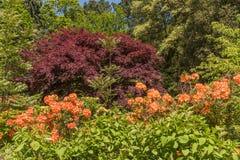 Rhododendren et jardins d'azalée Photographie stock libre de droits