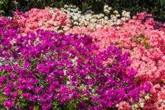 Rhododendren et jardins d'azalée Photo stock