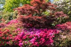 Rhododendren et jardins d'azalée images stock