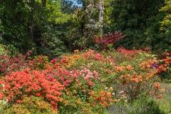 Rhododendren och azaleaträdgårdar Arkivfoton