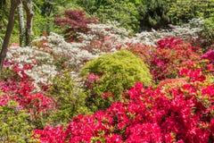 Rhododendren och azaleaträdgårdar Royaltyfri Fotografi