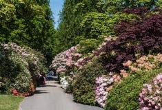 Rhododendren och azaleaträdgårdar Fotografering för Bildbyråer