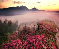 Rhododendren, schöne alpine Blumen Stockfoto