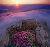Rhododendren, schöne alpine Blumen Stockbilder
