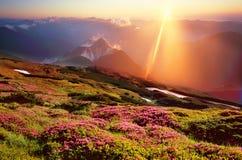 Rhododendren, schöne alpine Blumen Lizenzfreies Stockbild