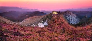 Rhododendren, schöne alpine Blumen Stockfotos