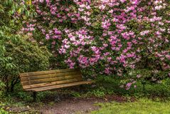 Rhododendren und eine Bank in Portland-` s Crystal Springs Rhododen Stockfoto