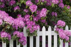 Rhododendren und Pfosten-Zaun lizenzfreie stockfotografie