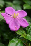 Rhododendro indio Imagen de archivo