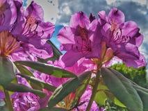 Rhododendrom rosa Immagini Stock Libere da Diritti