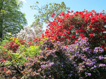 Rhododendroms. Stock Images