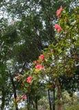 Rhododendron δέντρο arboreum με την πτώση στοκ εικόνες