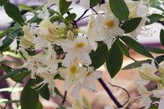 Rhododendron των ειδών Astra στοκ φωτογραφία με δικαίωμα ελεύθερης χρήσης