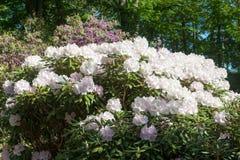 Rhododendron δέντρο Στοκ φωτογραφία με δικαίωμα ελεύθερης χρήσης